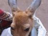 Kangaroo im Sack